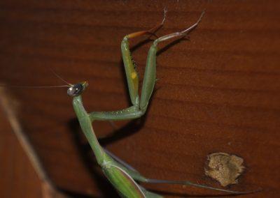 ecolodgecabaneros,conservacion,vidasalvaje,mantis,jpg