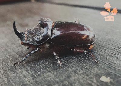 ecolodgecabaneros,media,galeria,escarabajorinoceronte